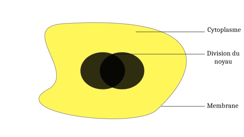 Schéma d'un plasmode